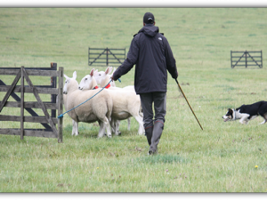 Sheepdog Training
