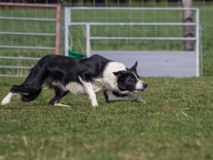Sheepdog Training Clinics