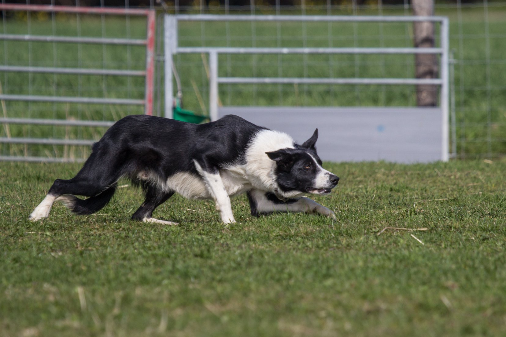 Sheepdog Training Clinics