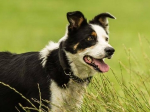 Sheepdog Training For Fun