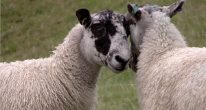 New - Online Sheepdog Training
